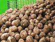 В районе будет введен карантинный режим на картофель