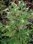 Активизация борьбы с карантинными растениями